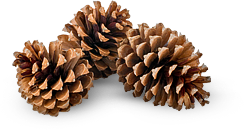 pinecones, Giant Sugar Pine Cones at many of our camps in California. Come to our Outdoor Science School program and see them in person!